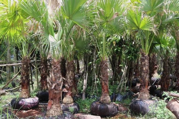 Hình Ảnh Cây Kè Đuôi Sẻ (Kè Trơn, Kè Ấn Độ) - Cây Trang Trí Công Trình - Cty TNHH Cây Xanh Đông Thuận Đông