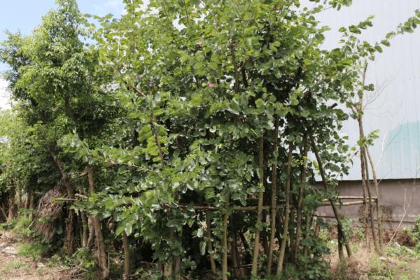 Hình Ảnh Cây Móng Bò (Hoa Ban Tím) - Cây Bóng Mát - Cty TNHH Cây Xanh Đông Thuận Đông