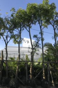 Hình Ảnh Cây Lộc Vừng - Cây Bóng Mát - Cty TNHH Cây Xanh Đông Thuận Đông