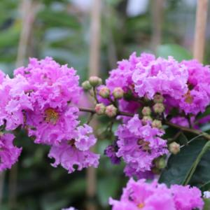 Hình Ảnh Cây Hoa Bằng Lăng Thái Giống Mới - Hoa Công Trình Các Loại - Cty TNHH Cây Xanh Đông Thuận Đông