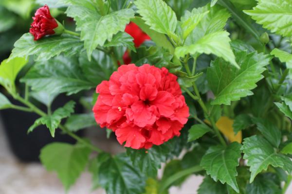 Hình Ảnh Cây Hoa Dâm Bụt Đỏ Hoa Kép (Râm Bụt) - Hoa Công Trình Các Loại - Cty TNHH Cây Xanh Đông Thuận Đông