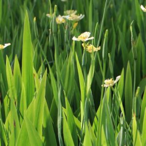 Hình Ảnh Cây Hoa Lan Rẻ Quạt (Lan Lúa) - Hoa Công Trình Các Loại - Cty TNHH Cây Xanh Đông Thuận Đông