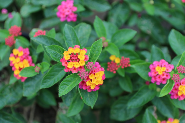 Hình Ảnh Cây Hoa Trâm Ổi (Ngũ Sắc) - Hoa Công Trình Các Loại - Cty TNHH Cây Xanh Đông Thuận Đông