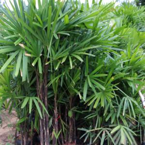 Hình Ảnh Cây Mật Cật - Cây Trang Trí Công Trình - Cty TNHH Cây Xanh Đông Thuận Đông