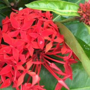 Hình Ảnh Cây Hoa Trang Mỹ Đỏ (Long Thuyền Hoa) - Hoa Công Trình Các Loại - Cty TNHH Cây Xanh Đông Thuận Đông