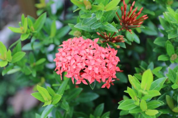 Hình Ảnh Cây Hoa Trang Thái Đỏ (Mẫu Đơn Thái) - Hoa Công Trình Các Loại - Cty TNHH Cây Xanh Đông Thuận Đông