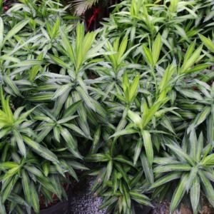 Hình Ảnh Cây Trúc Bách Hợp - Cây Trang Trí Công Trình - Cty TNHH Cây Xanh Đông Thuận Đông