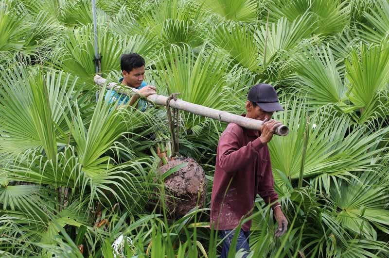 Hình Ảnh Hoạt Động Bứng Kè Đuôi Sẻ Tại Vườn Cty TNHH Cây Xanh Đông Thuận Đông