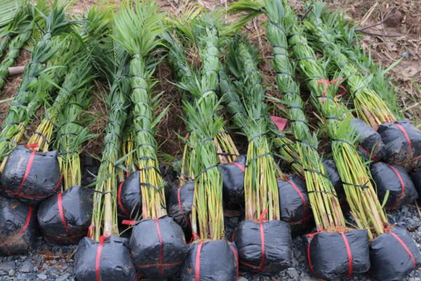 Hình Ảnh Cây Cau Vàng - Cây Trang Trí Công Trình - Cty TNHH Cây Xanh Đông Thuận Đông