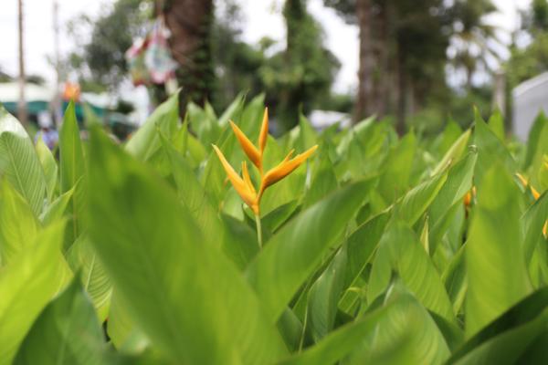 Hình Ảnh Cây Chuối Hoa Mỏ Két (Mỏ Két Lá Dong) - Hoa Công Trình Các Loại - Cty TNHH Cây Xanh Đông Thuận Đông