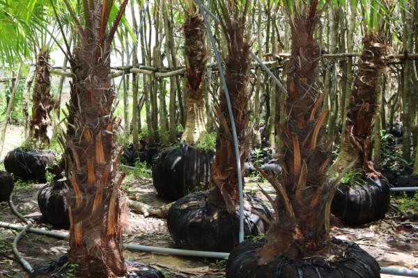 Hình Ảnh Cây Kè Đỏ (Kè Bóng, Kè Ta) - Cây Trang Trí Công Trình - Cty TNHH Cây Xanh Đông Thuận Đông