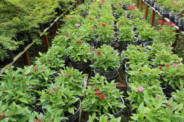 Hình Ảnh Cây Hoa Diễm Châu Đỏ Hồng - Hoa Công Trình Các Loại - Cty TNHH Cây Xanh Đông Thuận Đông