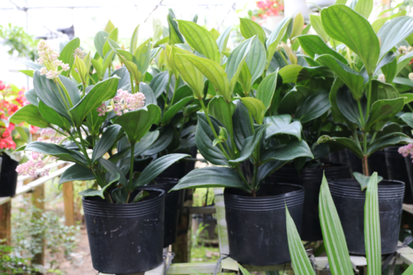 Hình Ảnh Cây Hoa Hòn Ngọc Viễn Đông - Hoa Công Trình Các Loại - Cty TNHH Cây Xanh Đông Thuận Đông