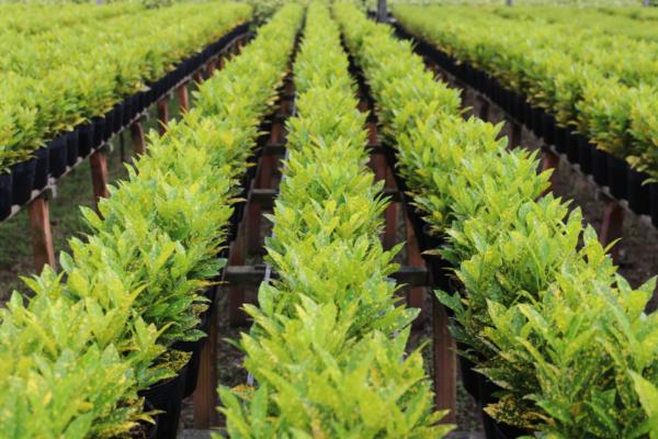 Hình Ảnh Cây Vàng Bạc - Cây Lá Màu - Cty TNHH Cây Xanh Đông Thuận Đông