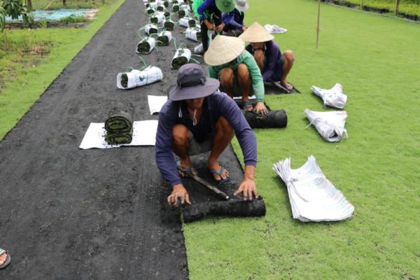 Hình Ảnh Cỏ Nhung Nhật - Cỏ Các Loại - Cty TNHH Cây Xanh Đông Thuận Đông