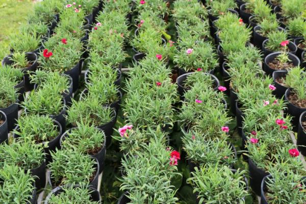 Hình Ảnh Cây Hoa Cẩm Nhung - Hoa Công Trình Các Loại - Cty TNHH Cây Xanh Đông Thuận Đông