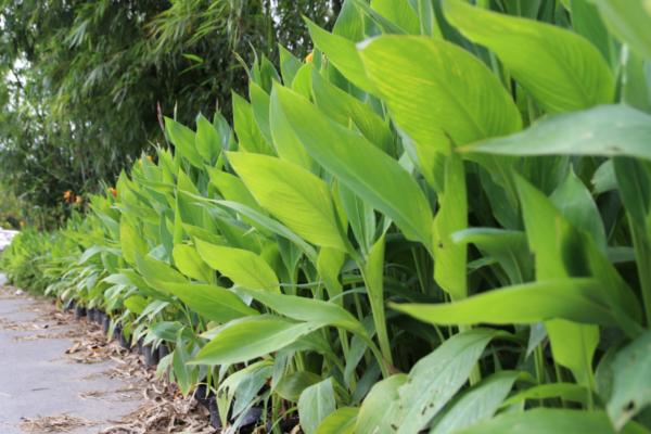 Hình Ảnh Cây Chuối Hoa Đỏ Vàng (Chuối Lai) - Hoa Công Trình Các Loại - Cty TNHH Cây Xanh Đông Thuận Đông