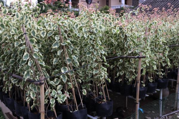 Hình Ảnh Cây Hoa Giấy Cẩm Thạch - Hoa Công Trình Các Loại - Cty TNHH Cây Xanh Đông Thuận Đông