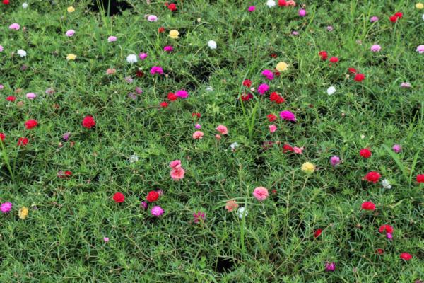 Hình Ảnh Cây Hoa Mười Giờ Thái Đủ Màu - Hoa Công Trình Các Loại - Cty TNHH Cây Xanh Đông Thuận Đông