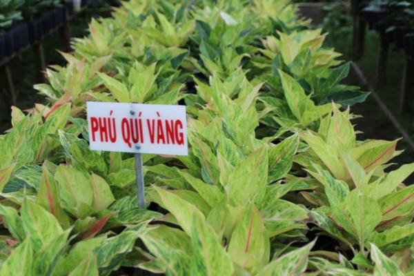 Hình Ảnh Cây Phú Quý Vàng - Cây Nội Thất Văn Phòng - Cty TNHH Cây Xanh Đông Thuận Đông