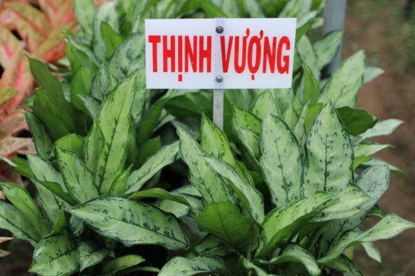 Hình Ảnh Cây Thịnh Vượng - Cây Nội Thất Văn Phòng - Cty TNHH Cây Xanh Đông Thuận Đông