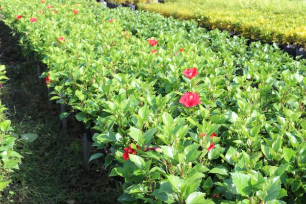 Hình Ảnh Cây Hoa Dâm Bụt Thái Nhiều Màu (Râm Bụt) - Hoa Công Trình Các Loại - Cty TNHH Cây Xanh Đông Thuận Đông