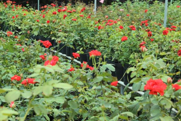 Hình Ảnh Cây Hoa Hồng Lửa - Hoa Công Trình Các Loại - Cty TNHH Cây Xanh Đông Thuận Đông