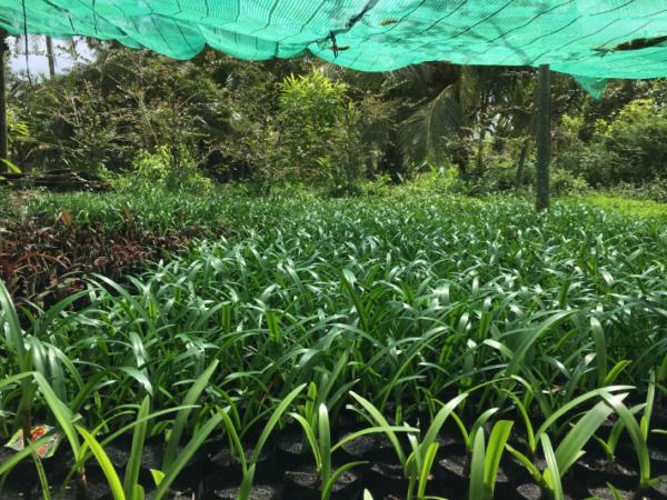 Hình Ảnh Cây Hoa Huệ Bạch Trinh - Hoa Công Trình Các Loại - Cty TNHH Cây Xanh Đông Thuận Đông