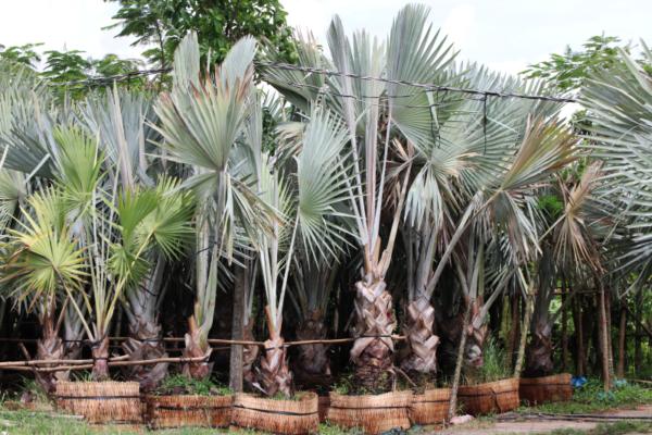 Hình Ảnh Cây Kè Bạc Mỹ - Cây Trang Trí Công Trình - Cty TNHH Cây Xanh Đông Thuận Đông