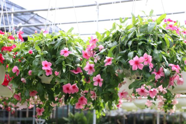 Hình Ảnh Cây Hoa Dừa Bông Rũ - Cây Hoa Tết Các Loại - Cty TNHH Cây Xanh Đông Thuận Đông