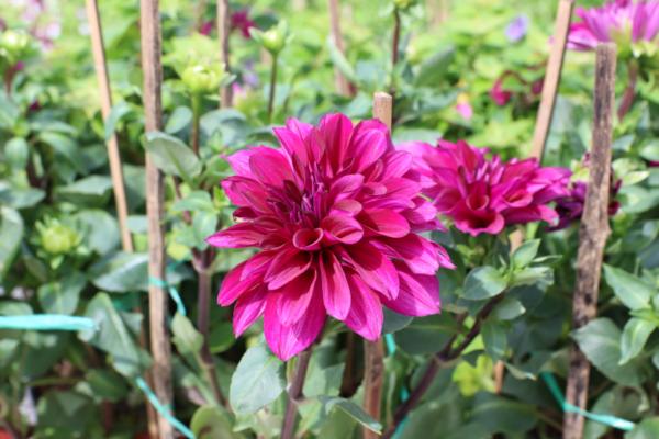 Hình Ảnh Cây Hoa Thược Dược - Cây Hoa Tết Các Loại - Cty TNHH Cây Xanh Đông Thuận Đông