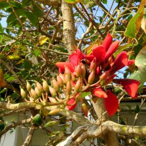 Hình Ảnh Cây Hoàng Hậu Đỏ (Osaka Đỏ) - Cây Bóng Mát - Cty TNHH Cây Xanh Đông Thuận Đông