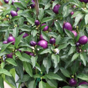 Hình Ảnh Cây Ớt Kiểng (Ớt Cảnh) - Cây Hoa Tết Các Loại - Cty TNHH Cây Xanh Đông Thuận Đông