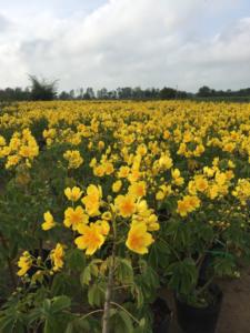 Hình Ảnh Cây Mai Hoa Đăng - Cây Hoa Tết Các Loại - Cty TNHH Cây Xanh Đông Thuận Đông