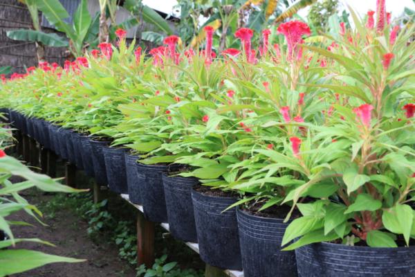 Hình Ảnh Cây Hoa Mào Gà 9 Tầng - Cây Hoa Tết Các Loại - Cty TNHH Cây Xanh Đông Thuận Đông