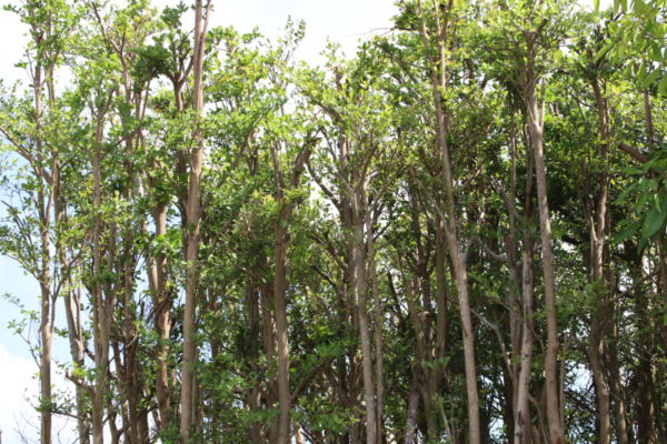 Hình Ảnh Cây Bàng Đài Loan (Bàng Lá Nhỏ) - Cây Bóng Mát - Cty TNHH Cây Xanh Đông Thuận Đông