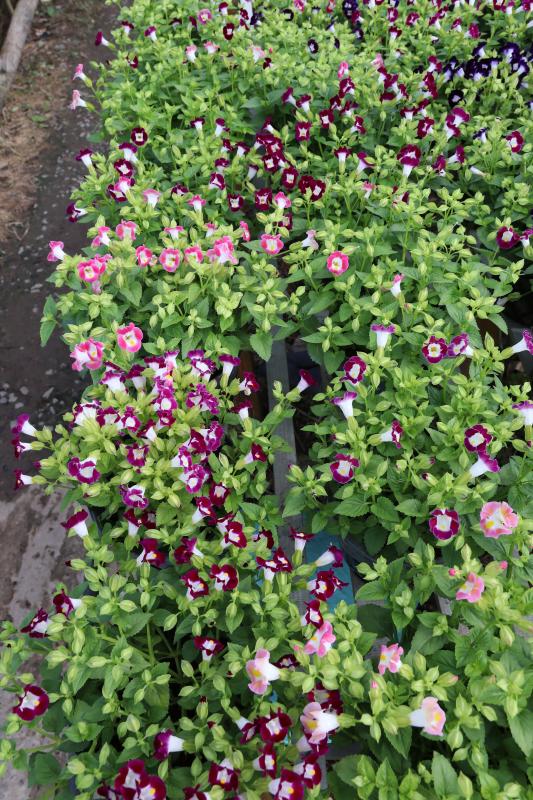 Hình Ảnh Cây Hoa Ban Sê (Păng Xê) - Cây Hoa Tết Các Loại - Cty TNHH Cây Xanh Đông Thuận Đông