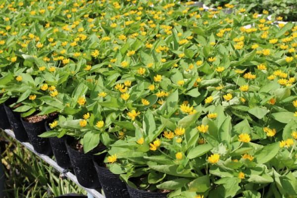 Hình Ảnh Cây Hoa Cúc Mặt Trời - Cây Hoa Tết Các Loại - Cty TNHH Cây Xanh Đông Thuận Đông