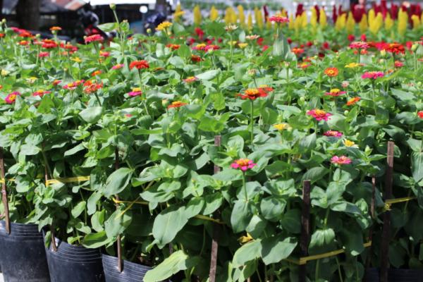 Hình Ảnh Cây Hoa Cúc Tây - Cây Hoa Tết Các Loại - Cty TNHH Cây Xanh Đông Thuận Đông