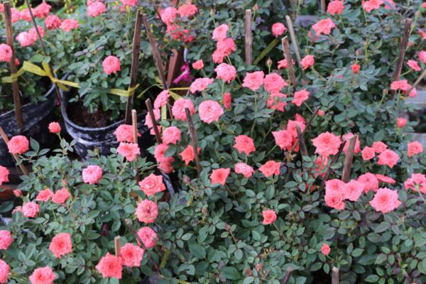 Hình Ảnh Cây Hoa Hồng Tiểu Muội - Cây Hoa Tết Các Loại - Cty TNHH Cây Xanh Đông Thuận Đông