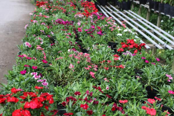 Hình Ảnh Cây Hoa Cẩm Nhung - Cây Hoa Tết Các Loại - Cty TNHH Cây Xanh Đông Thuận Đông