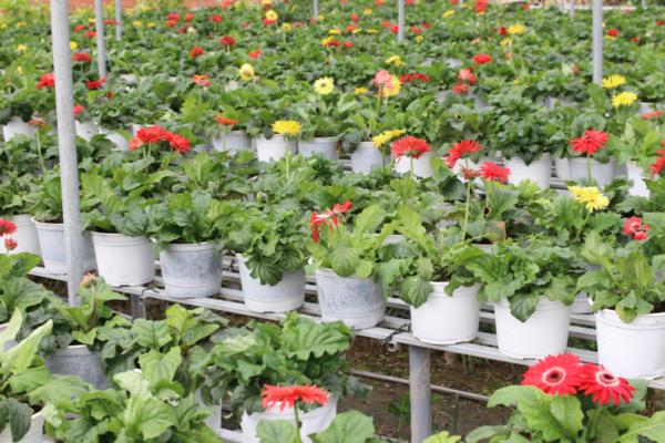 Hình Ảnh Cây Hoa Cúc Đồng Tiền - Cây Hoa Tết Các Loại - Cty TNHH Cây Xanh Đông Thuận Đông