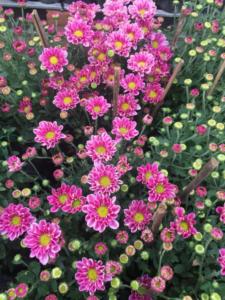 Hình Ảnh Cây Hoa Cúc Tím - Cây Hoa Tết Các Loại - Cty TNHH Cây Xanh Đông Thuận Đông
