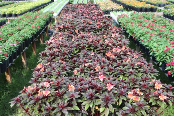 Hình Ảnh Cây Hoa Mai Địa Thảo - Cây Hoa Tết Các Loại - Cty TNHH Cây Xanh Đông Thuận Đông