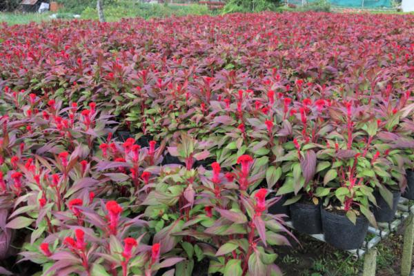 Hình Ảnh Cây Hoa Mào Gà Nhung - Cây Hoa Tết Các Loại - Cty TNHH Cây Xanh Đông Thuận Đông