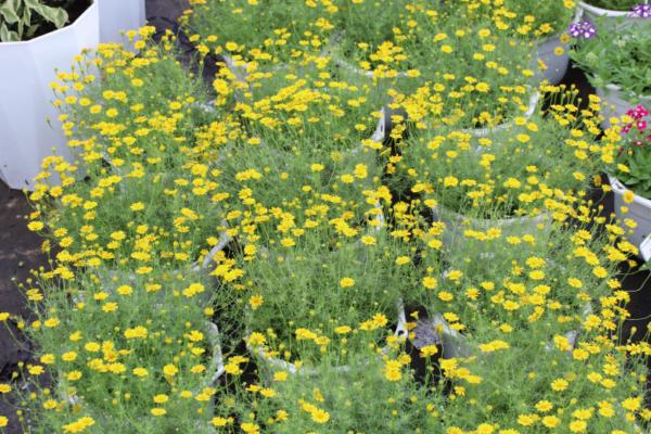 Hình Ảnh Cây Hoa Sao Băng - Cây Hoa Tết Các Loại - Cty TNHH Cây Xanh Đông Thuận Đông