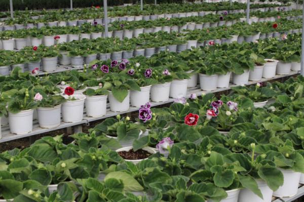 Hình Ảnh Cây Hoa Tình Yêu - Cây Hoa Tết Các Loại - Cty TNHH Cây Xanh Đông Thuận Đông