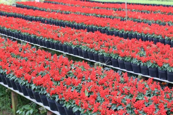 Hình Ảnh Cây Hoa Xác Pháo (Sắc Pháo) - Cây Hoa Tết Các Loại - Cty TNHH Cây Xanh Đông Thuận Đông