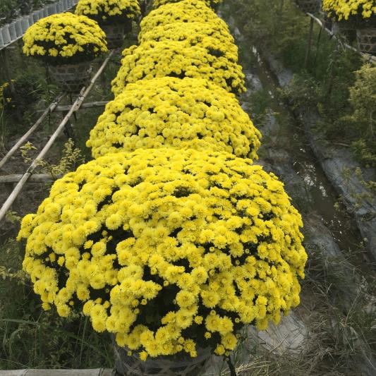 Hình Ảnh Cây Hoa Cúc Mâm Xôi - Cây Hoa Tết Các Loại - Cty TNHH Cây Xanh Đông Thuận Đông