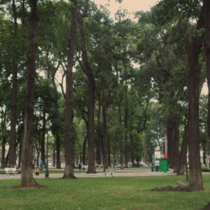 Hình Ảnh Cây Sao Đen - Cây Bóng Mát - Cty TNHH Cây Xanh Đông Thuận Đông